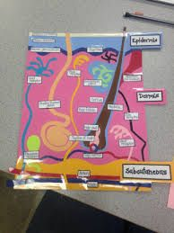 3d integumentary system project  Google Search