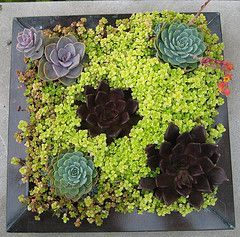 should be a high example of   what succulents can bring to your  container garden. Very beautiful!!