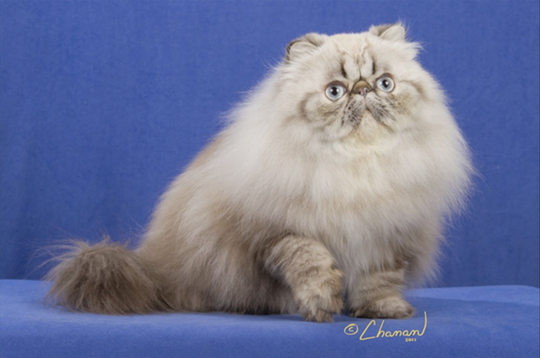 Seal Lynx Point Himalayan Cats Pretty Cats Persian Cat