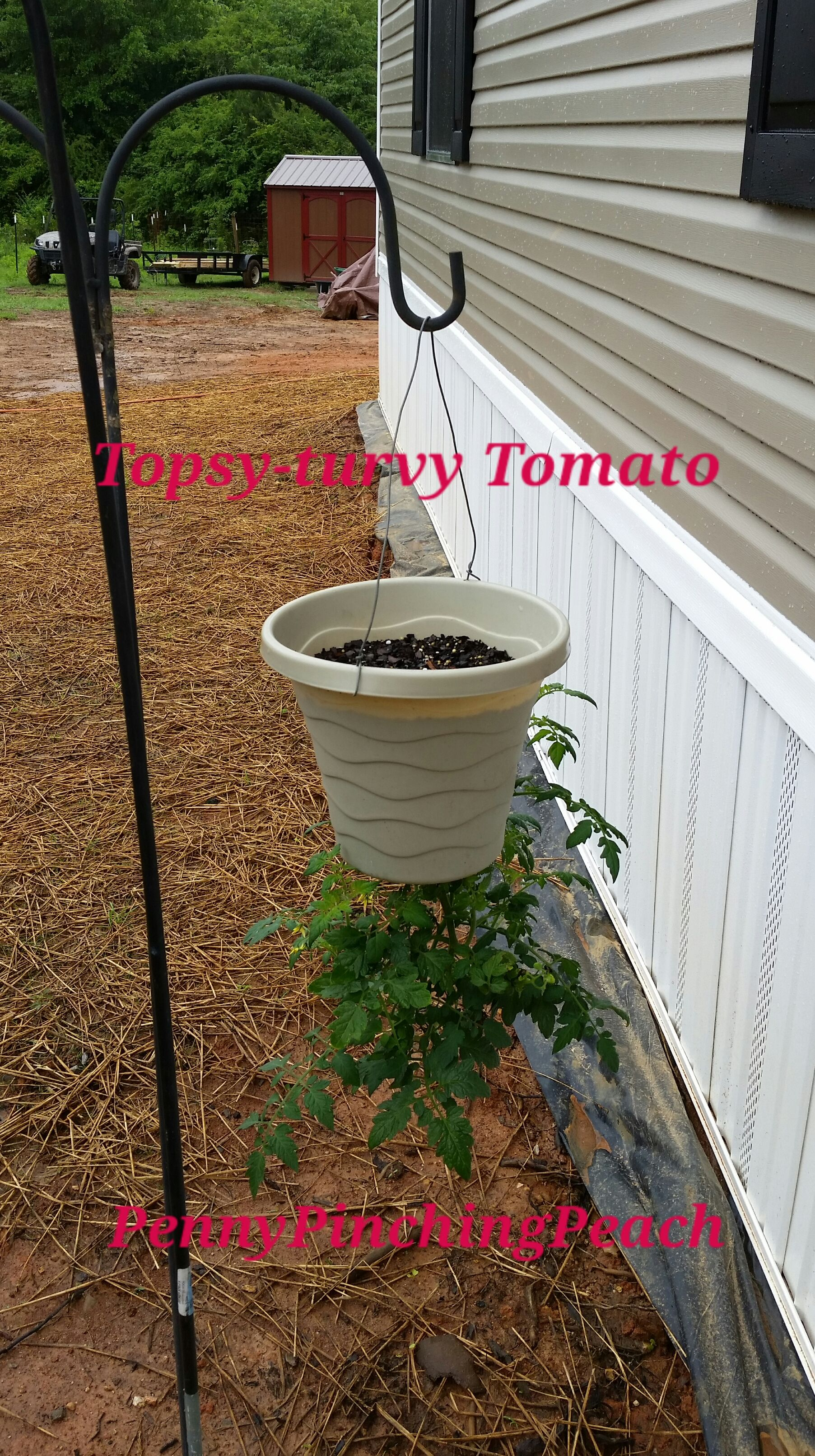 Diy Topsy Turvy Tomato Hanging Tomato Plants Tomato 400 x 300
