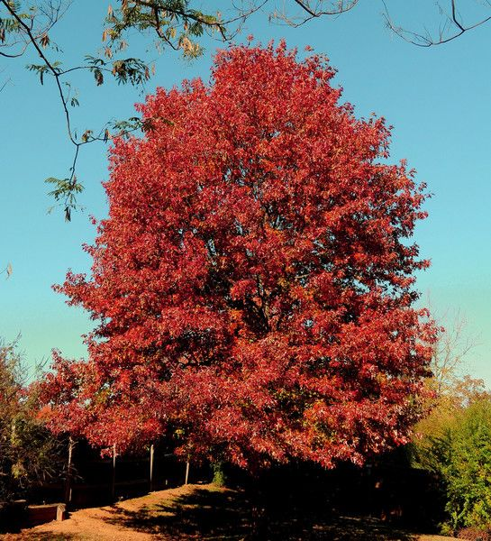 For my front yard Red Oak Tree - wunderground.com | New Garden ...