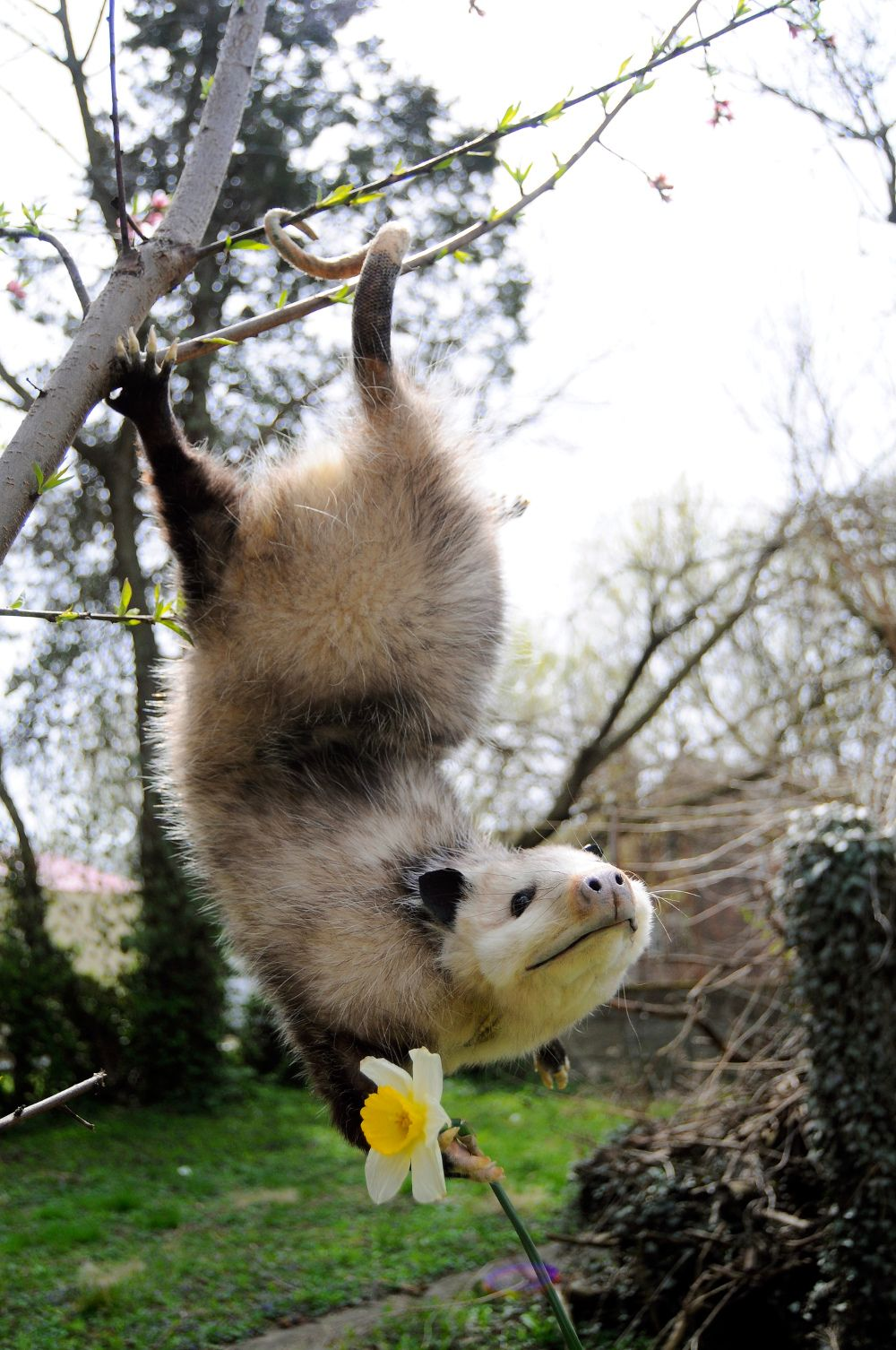 cute opossum taxidermy holding flower art once living