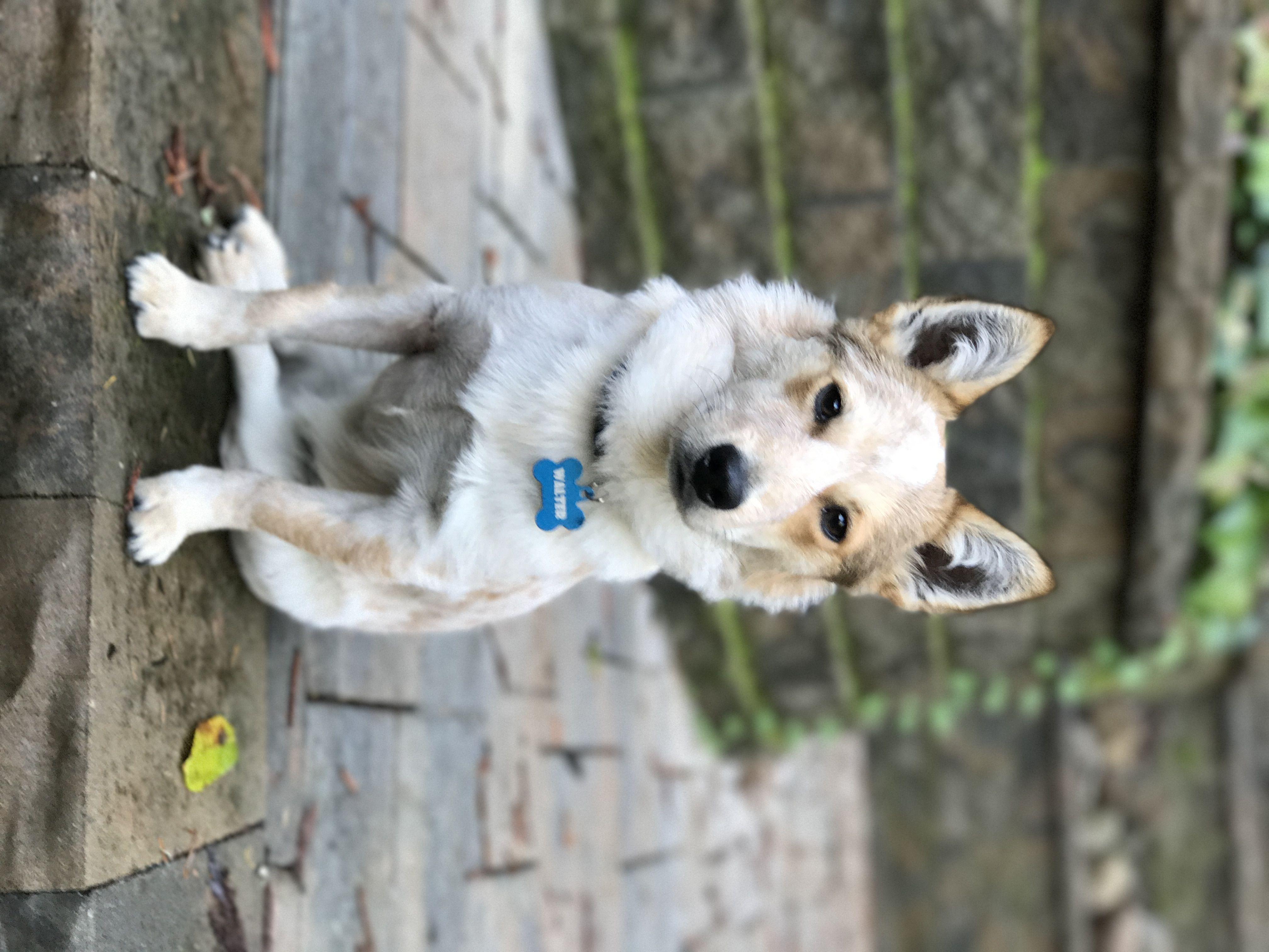 8 Month Old Corgi Queensland Red Heeler Rescure Dog Woof