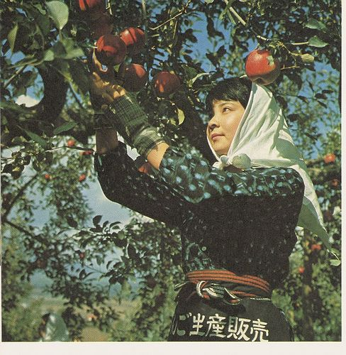 Japanese Woman Havesting Apples | Flickr - Photo Sharing!