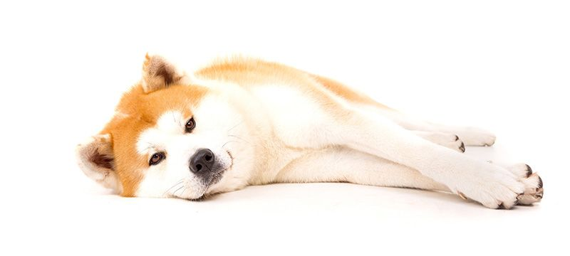 Shiba Inu Price How Much Do They Cost Why Dogs World