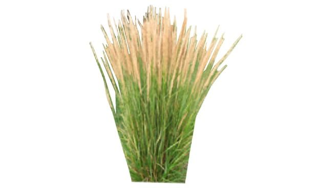 2d Face Me Feather Reed Grass 3d Warehouse Feather Reed Grass