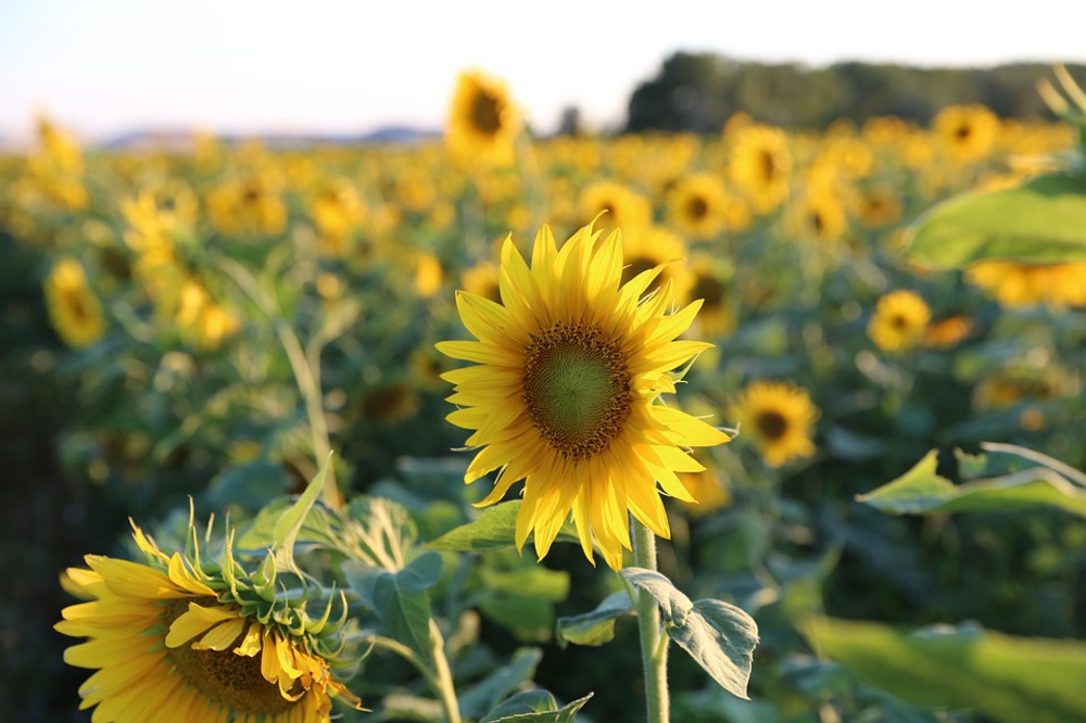 Best Time To See Sunflowers In Bloom Provence French Riviera 2020 Sunflower Sunflower Fields Provence