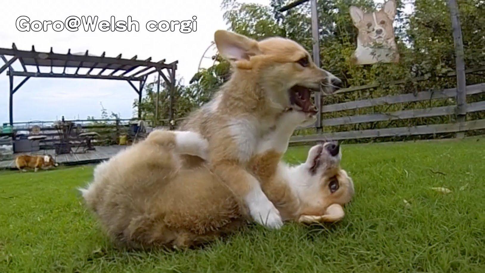 Rocky Puppies / cute corgi puppies on grass / Goro@Welsh corgi channel コ...