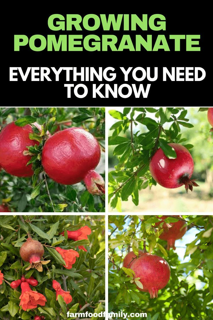 Growing Pomegranate How To Care Pomegranate Plants Growing