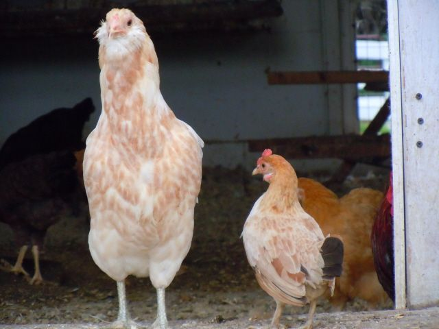 Rare and Fancy Chickens - Triple Spring Acres