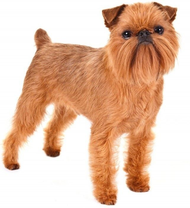 Top 30 Dogs That Don T Shed Small Medium And Large Breeds With