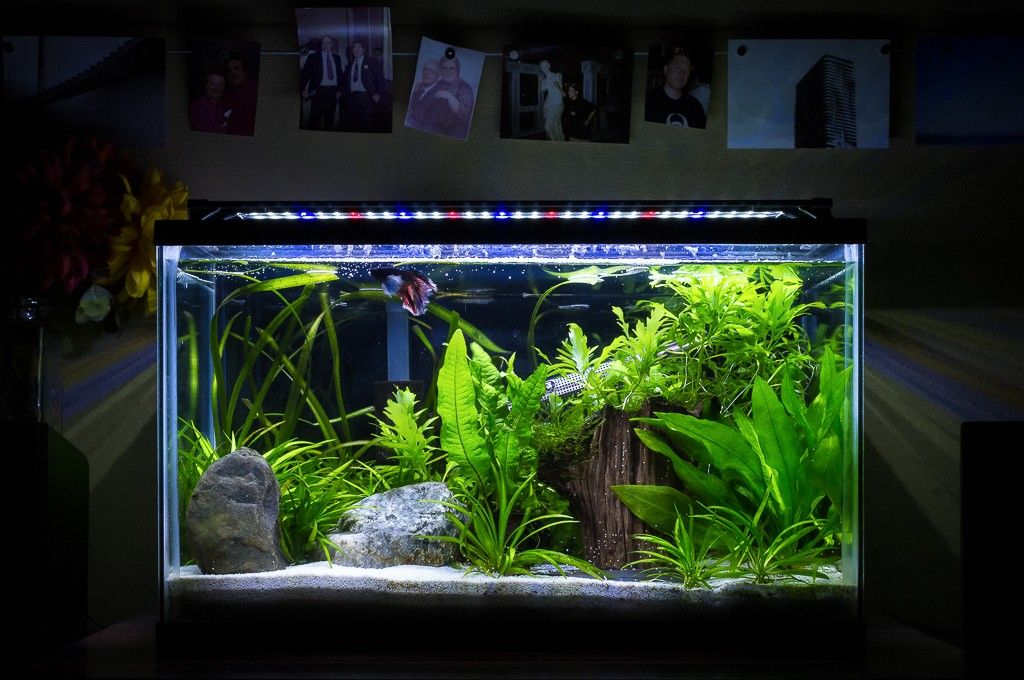 Planted Tank Heavily Planted Betta Tank By Dan Adams Aquascape Awards Planted Betta Tank Betta Tank Betta Aquarium