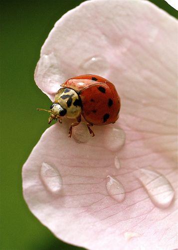 La Bête à Bon Dieu : bête, Bête, Ladybug,, Ladybird,, Animals