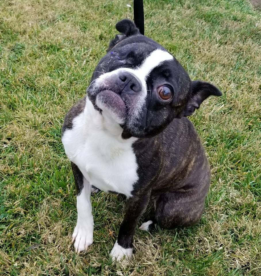 Boston Terrier Dog For Adoption In Modesto Ca Adn 769605 On