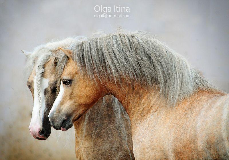 welsh mountain pony stallions by Olga Itina
