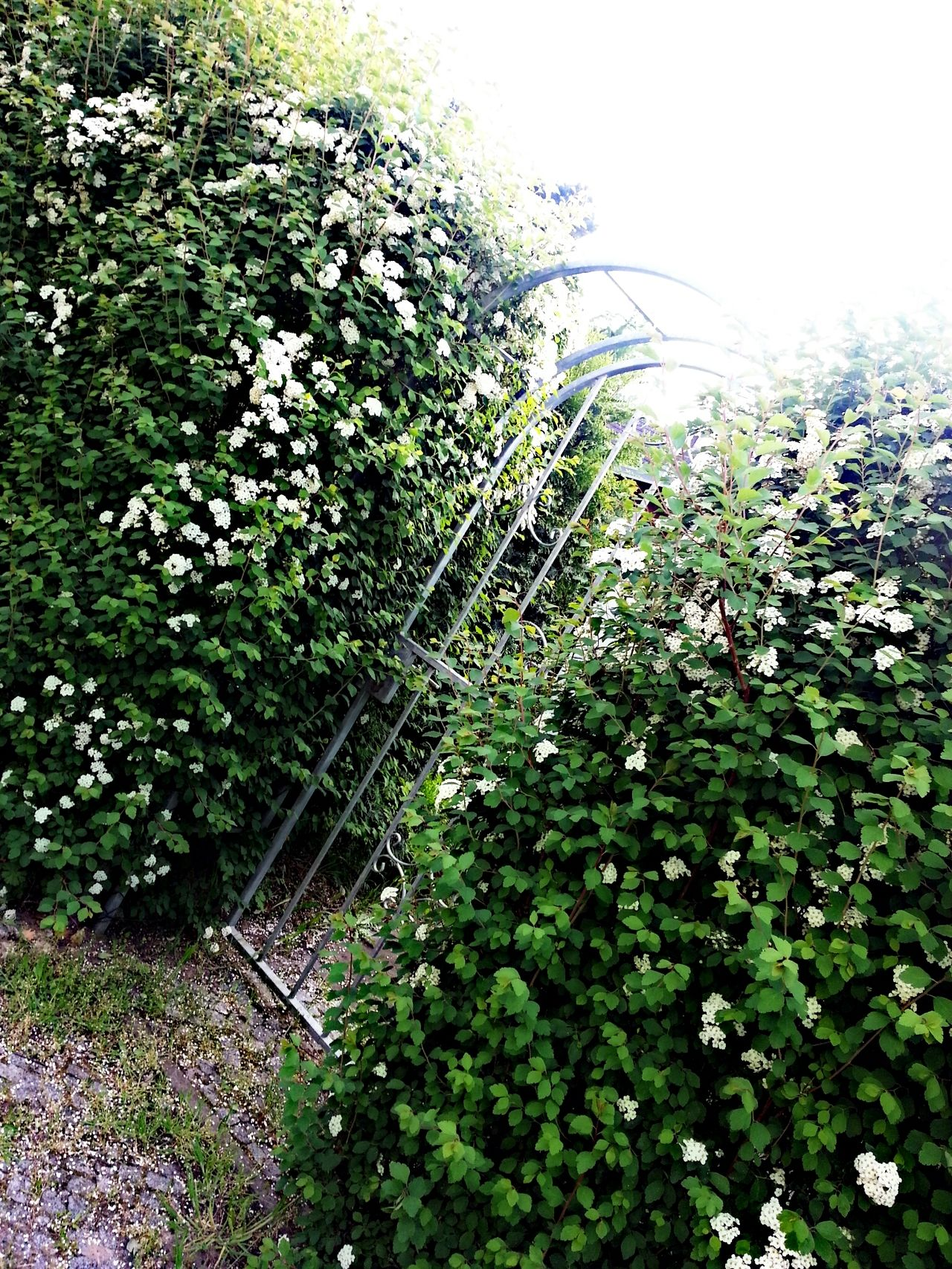 blühender Blumen Busch im sommer
