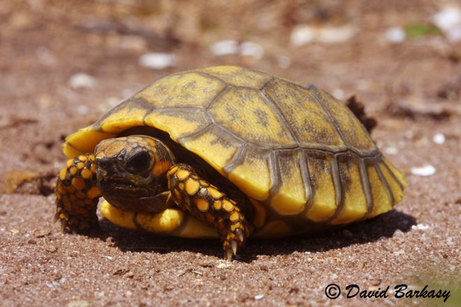 Yellow Foot Tortoise For Sale Tortugas Terrestres