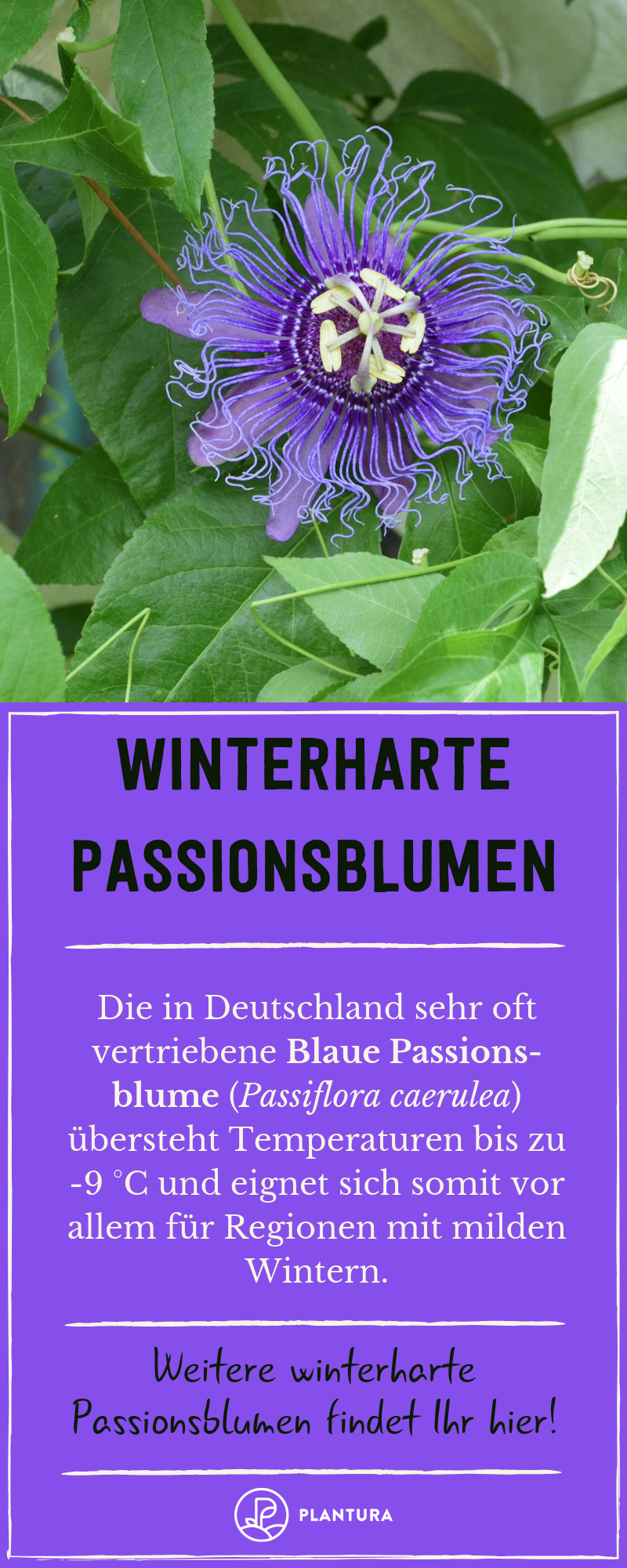 Winterharte Passionsblumen-Arten: Die 3 Kältetolerantesten - Plantura