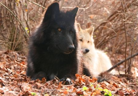Zephyr and Alawa, two ambassador wolves at the Wolf Conservation Center