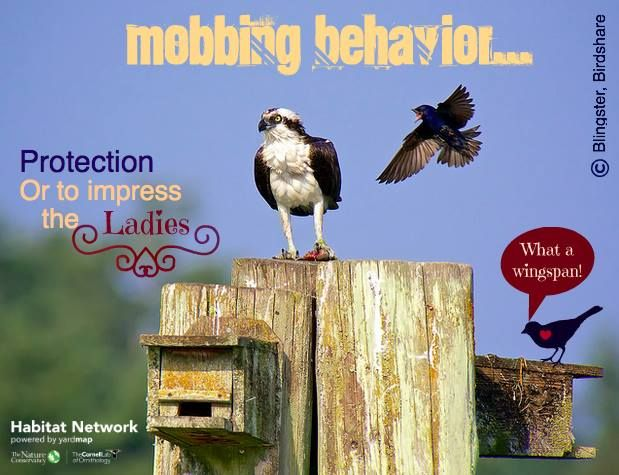 """Predator mobbing is assumed to intimidate the would-be predator. This seems a logical theory as it usually results in the predator leaving the area. New research, however, says birds may be engaging in a sexual selection """"show-off"""" by males.To read more about this research: https://www.sciencedaily.com/releases/2017/02/170222105242.htm."""