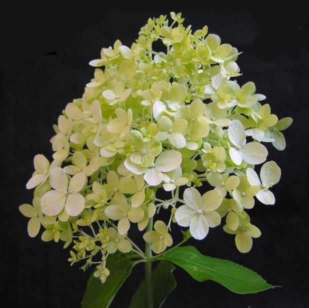 Hydrangea Paniculata Zwijnenberg Synonym Limelight The Flowers Are Creamy White And The 180mm Hydrangea Paniculata Panicle Hydrangea Hydrangea