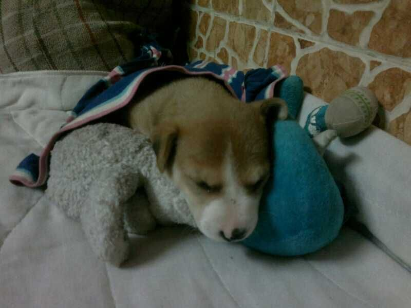 1 Month Old Female Indian Puppy Up For Adoption Call 9324699829 To