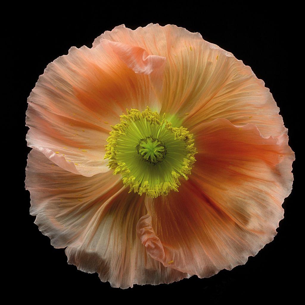Same Poppye Day After Flowers