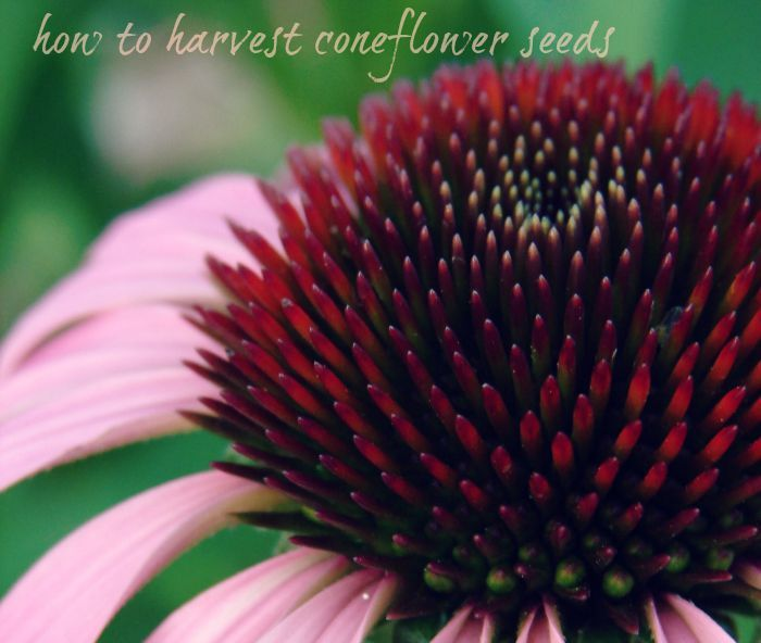 I Ve Been Deadheading My Coneflowers And Now Ll Show You How To