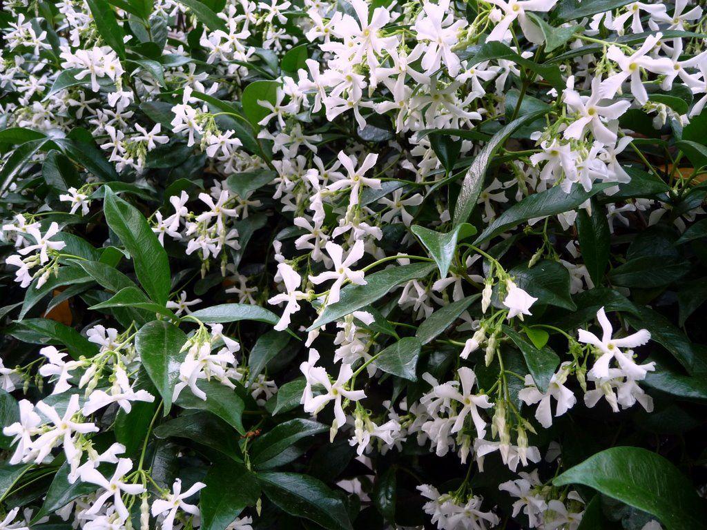 Trachelospermum jasminoides -evergreen perennial climber