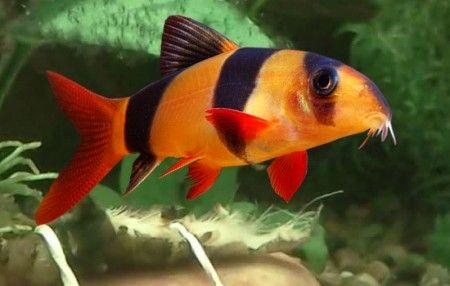 Clown loach the care feeding and breeding of clown for Freshwater clown fish