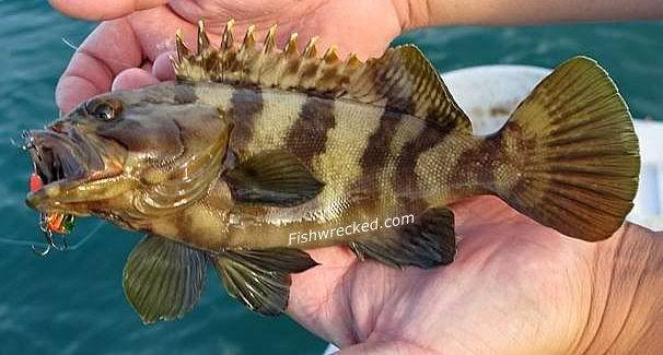 Chinaman rock cod epinephelus rivulatus from red to for Rock cod fish
