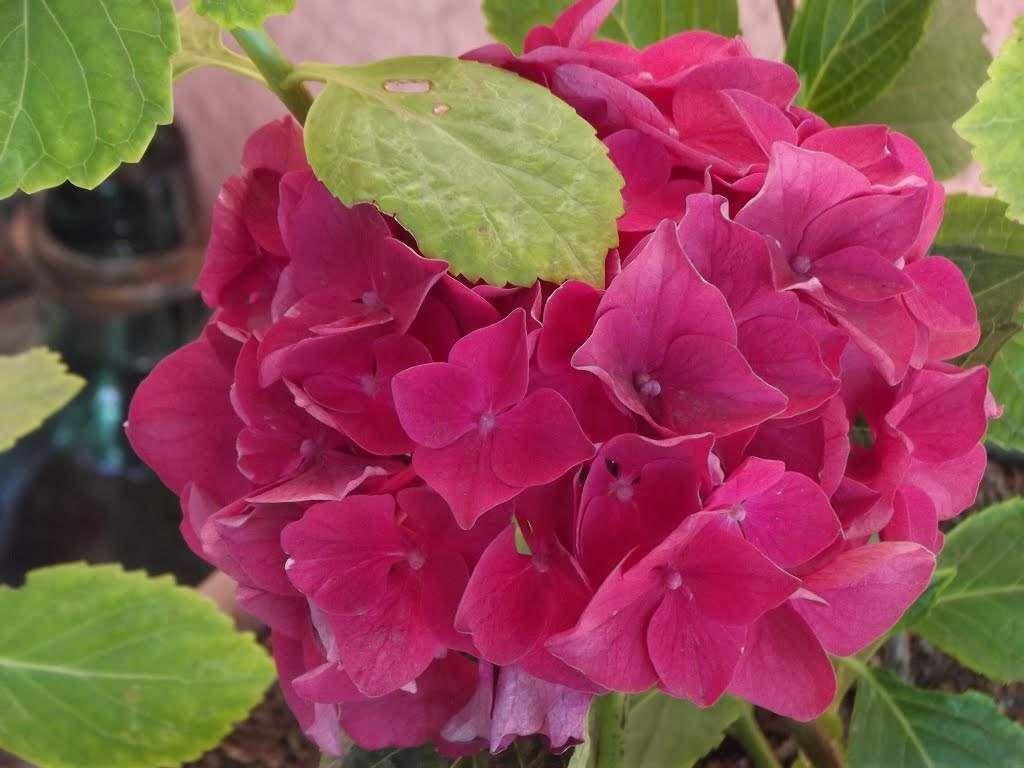 Como Controlar Y Cambiar El Color De Las Hortensias Hydrangea - Color-de-las-hortensias