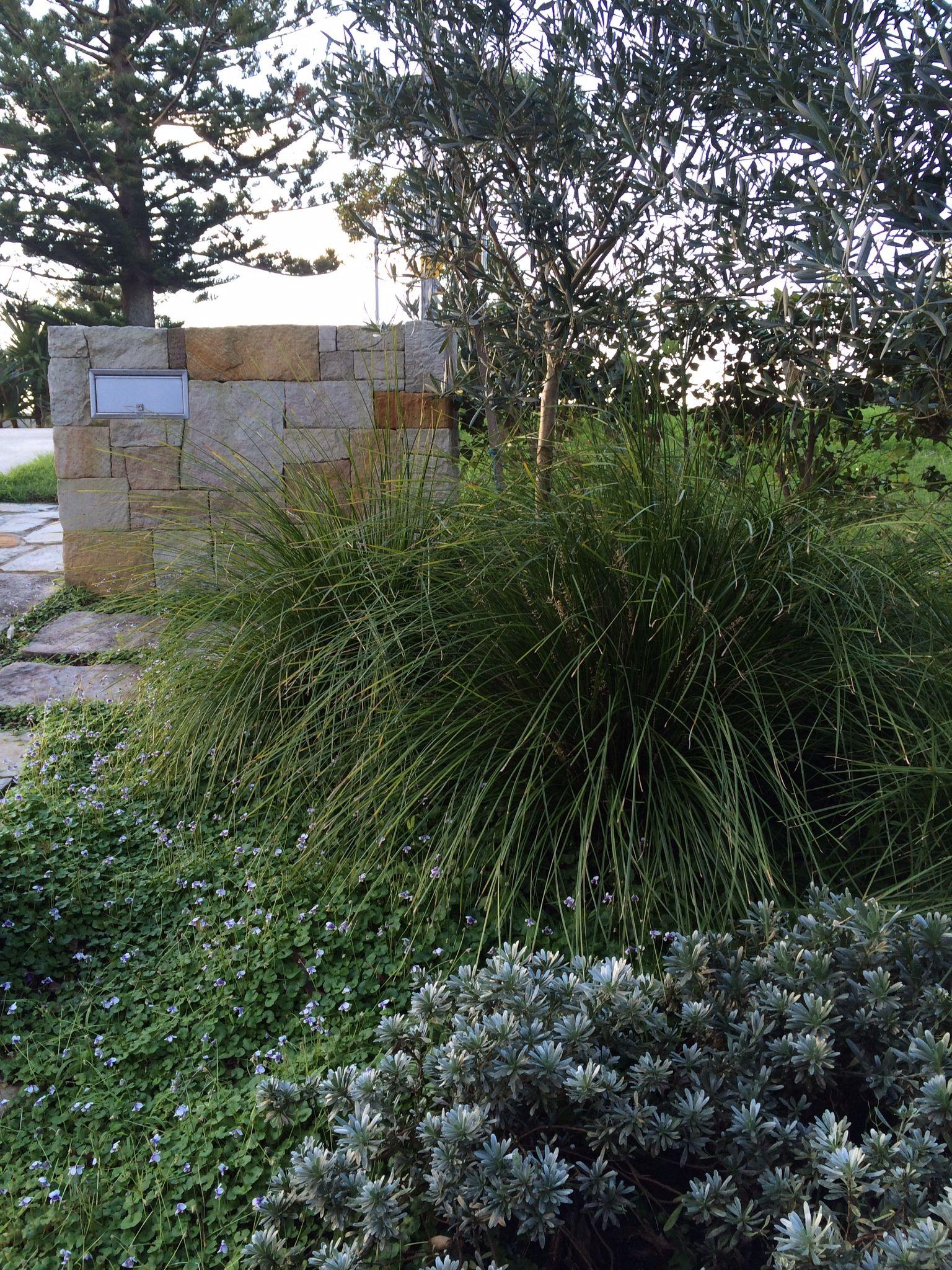 Coastal Scheme Coastal Rosemary  Westringia Fruticosa Clipped Buns Olive
