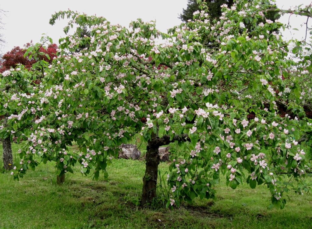 Quince Tree In Blossom Quince Fruit Tree Perfect Plants Fruit Trees