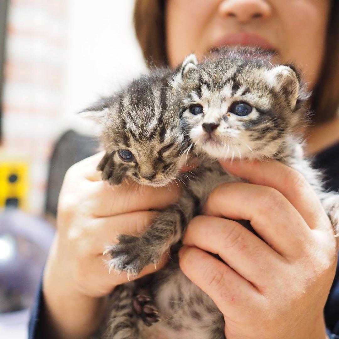 ねこの保育園 On Instagram たぬことたぬみ ミルクボランティア 里親募集 大阪 ねこ ねこすたぐらむ ねこ部 ミルクっ子 ちのみーず 保護猫 保護猫ボランティア 子猫 こねこ 子猫里親募集 子猫 ねこ 猫