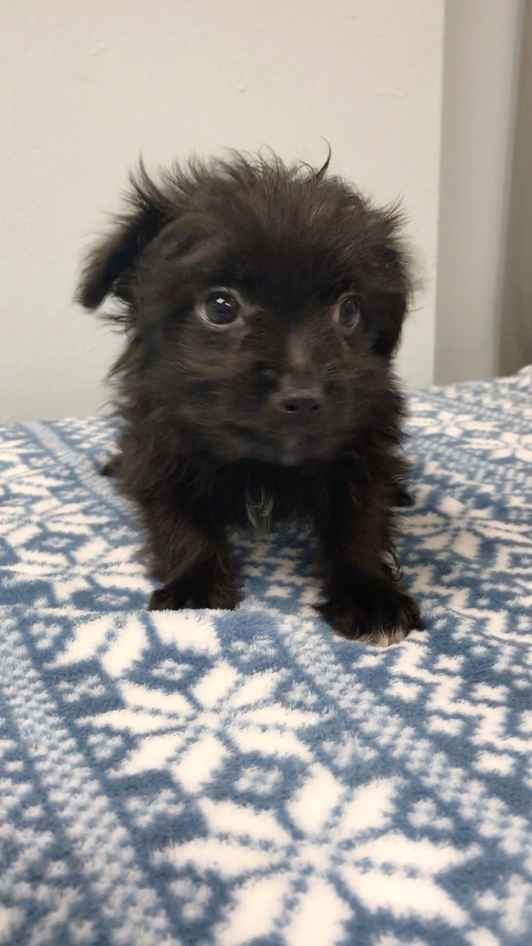 Pin by Lisa A on PUPPY ALERT!!!!!! | Dogs, Brussels griffon