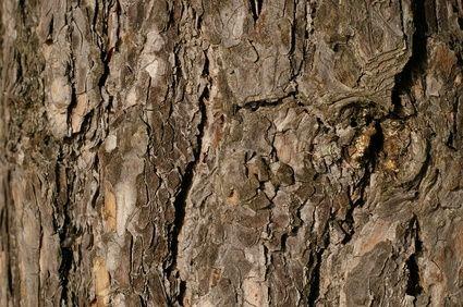 Medicinal Properties of Pine Bark