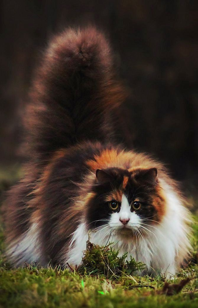 Stalking Calico Kitty Calicoes Cats Kittens Pets Animals