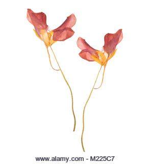 Rote Feder Getrocknete und gepresste Blumen. Herbarium auf weißem Hintergrund u…