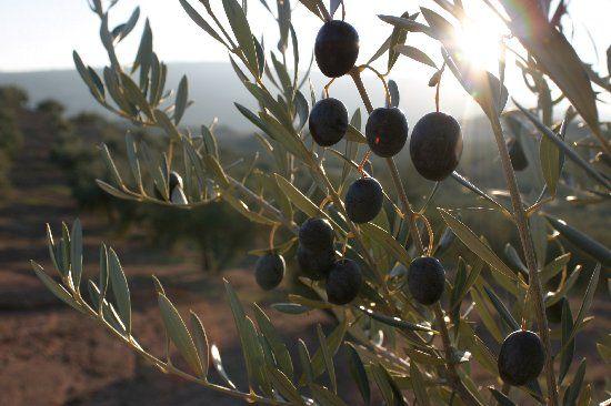 Olive groves in Spain/Olivares en España