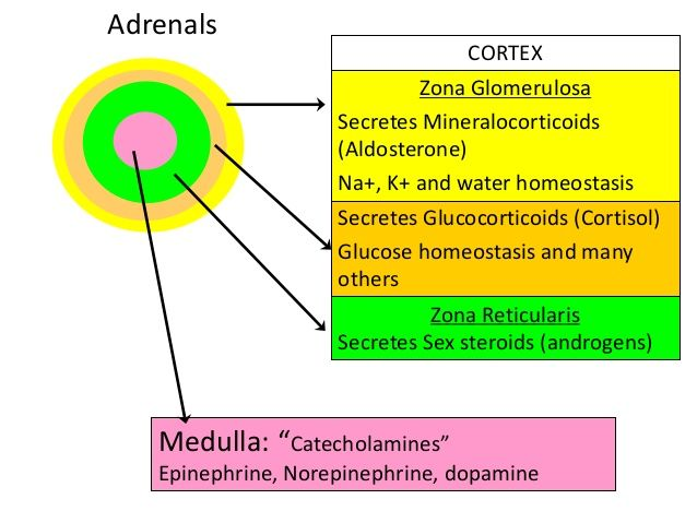 secretions of the adrenal gland - Google Search | medicine