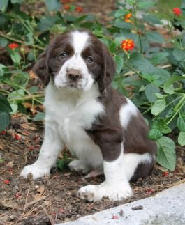 English Springer Spaniel Puppies For Sale Lancaster Puppies