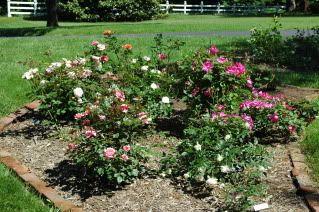 Plantfiles Picture 28 Of Shrub Rose Knockout Rosa Rose Garden Design Rose Garden Landscape Small Rose Garden Ideas