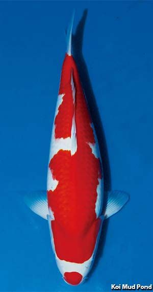 Kohaku Koi Carp Fish Koi Fish Pond Koi Carp