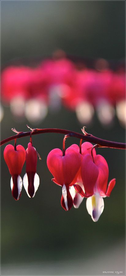 Bleeding heart by Twostar K. this was one of Grandma Phillips' favorite plants. i can remember her outside by it.