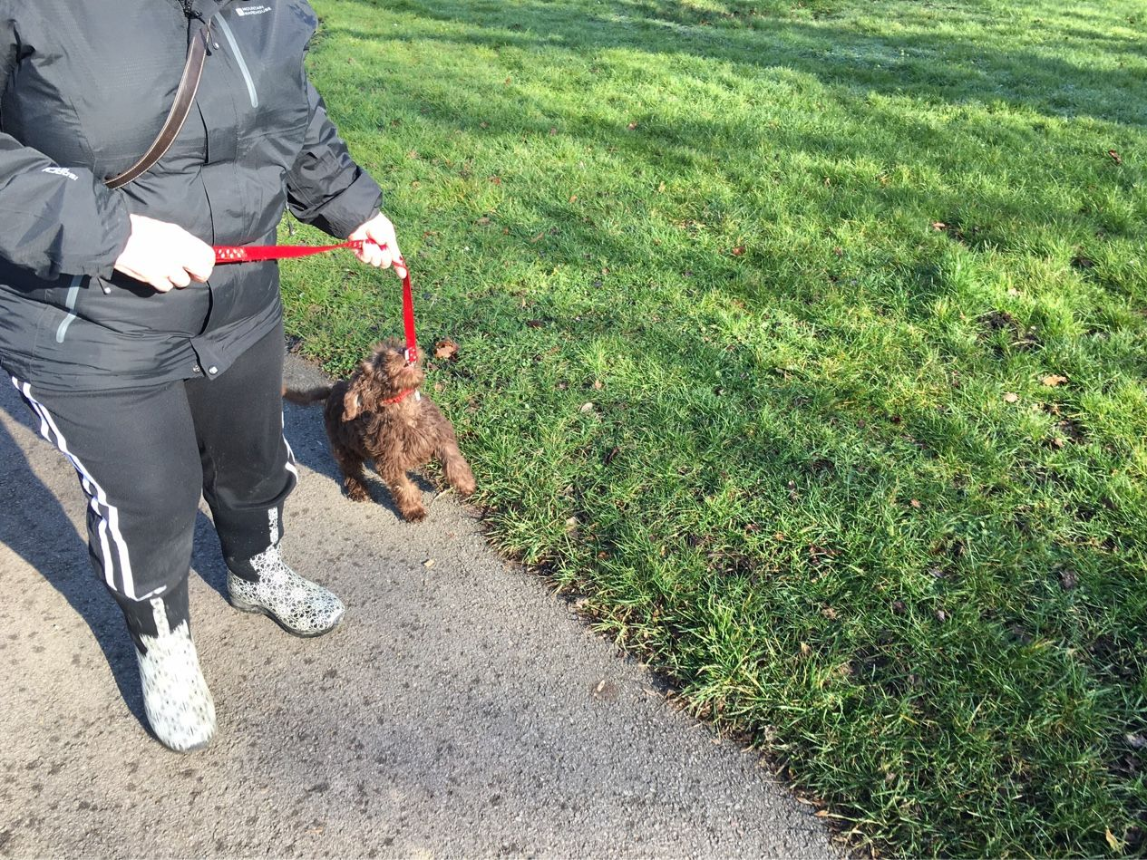 Lenny on his walk with barks puppy care popins 30mins