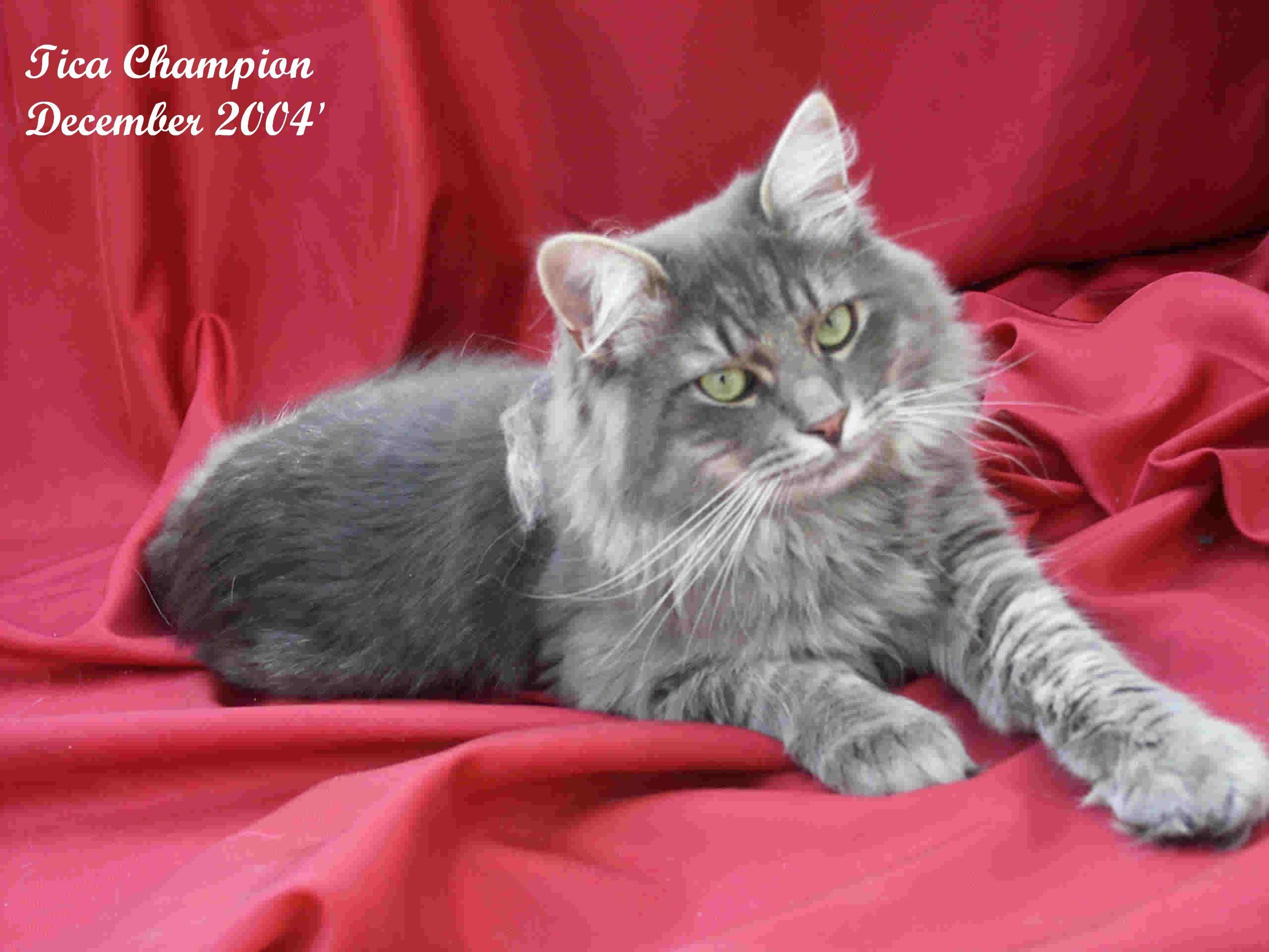 Siberian Siberian Cat Cat Breeds Cats