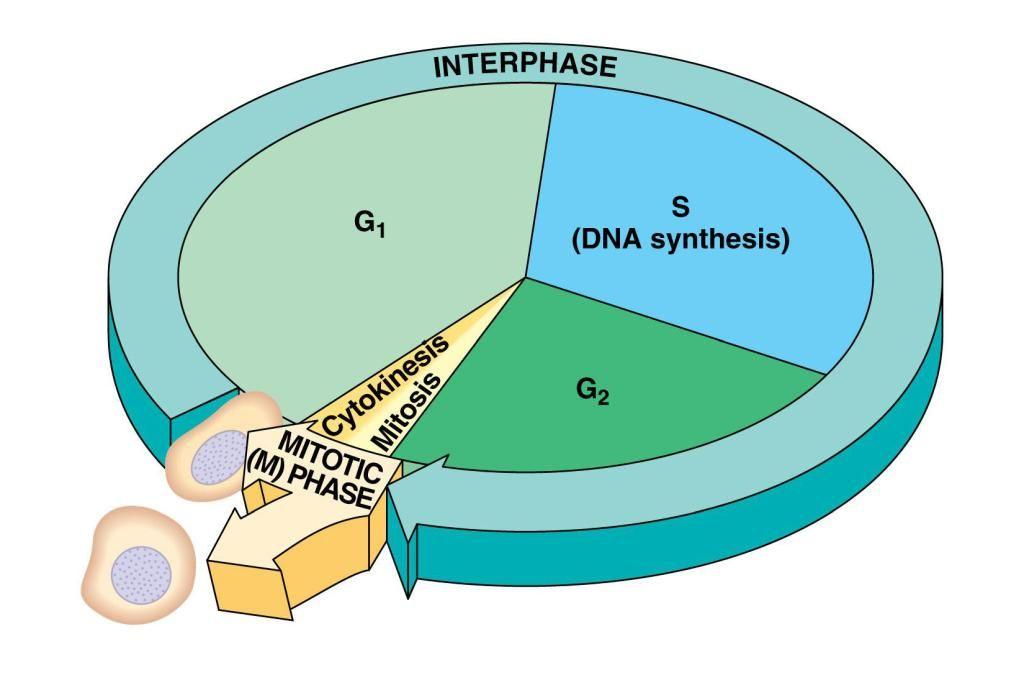 Warum Teilen Sich Zellen