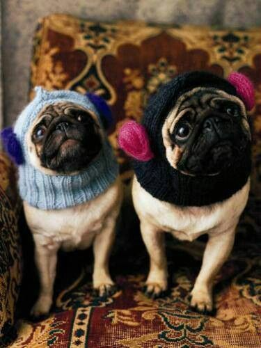 Pugs Ready For Fall Babytiere Haustiere Susseste Haustiere