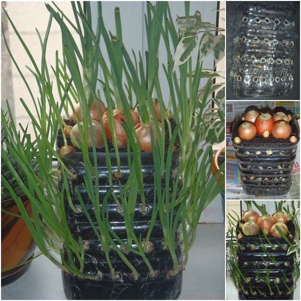 How To Grow Onions Vertically In Plastic Bottle On The Windowsill Indoor Vegetable Gardening Growing Vegetables Regrow Vegetables